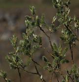 vrba jíva <i>(Salix caprea)</i> / Květ/Květenství
