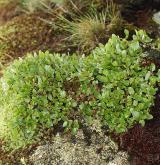 vrba bylinná <i>(Salix herbacea)</i> / Porost