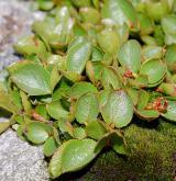 vrba bylinná <i>(Salix herbacea)</i> / Plod