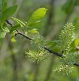 vrba velkolistá <i>(Salix appendiculata)</i> / Habitus