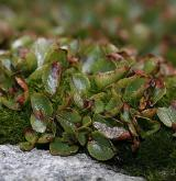 vrba bylinná <i>(Salix herbacea)</i> / Habitus