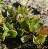 vrba bylinná <i>(Salix herbacea)</i> / List