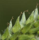 vrba bílá <i>(Salix alba)</i> / Květ/Květenství