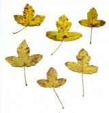 javor francouzský <i>(Acer monspessulanum)</i> / List